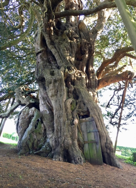 4000 year old Yew tree
